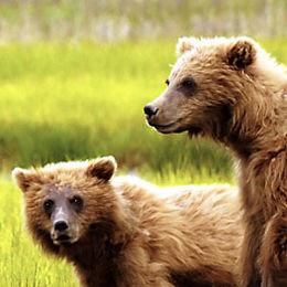 """WB06 Grizzly Bear, Ursus arctos horribilis, """"What do we do now?"""""""
