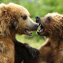 """WB07 Grizzly Bear, Ursus arctos horribilis, """"Sparring friends"""""""