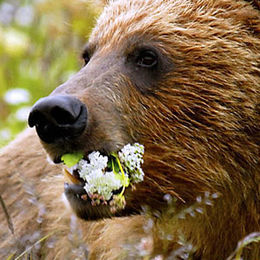 """WB08 Grizzly Bear, Ursus arctos horribilis, """"These are for you dear!"""""""