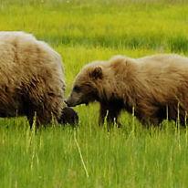 "WB09 Grizzly Bear, Ursus arctos horribilis, ""Follow my leader"""