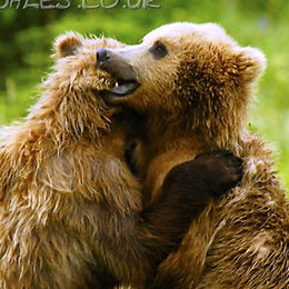 """WB10 Grizzly Bear, Ursus arctos horribilis, """"A word in your ear!"""""""