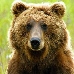 "WB11 Grizzly Bear, Ursus arctos horribilis, ""Time for a rest"","