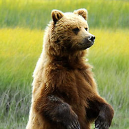 """WB12 Grizzly Bear, Ursus arctos horribilis, """"Standing tall"""""""