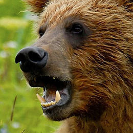 """WB13 Grizzly Bear, Ursus arctos horribilis, """"What lovely teeth you have!"""","""