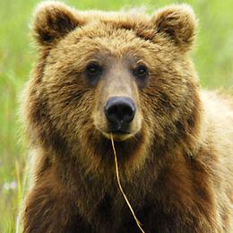 "WB14 Grizzly Bear, Ursus arctos horribilis, ""The Yokel"""