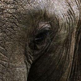 WE01 Elephant, Loxodonta africana africana