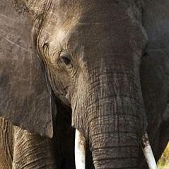 WE02 Female African Elephant, Loxodonta africana africana,