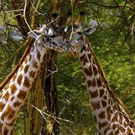 WG01 Reticulated or Somali Giraffe, Giraffa camelopardalis reticulata.