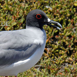 WG12 Swallow-tailed Gull, Creagrus furcatus