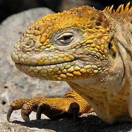 WI03  Galapagos Land Iguana, Conolophus subscristatus