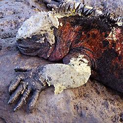 WI06 Galapagos Marine Iguana, Amblyrhynchus cristatus cristatus.