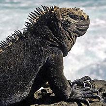 WI07 Galapagos Marine Iguana, Amblyrhynchus cristatus cristatus