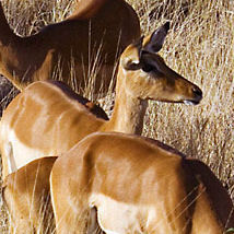 WI20 Impala, Aepyceros melampus.