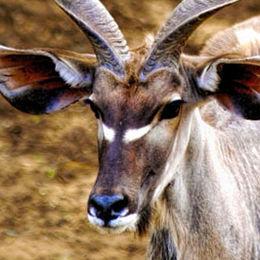 WK01 Greater Kudu, Tragelaphus strepsiceros