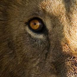 WL11 Male Lion, Panthera leo, portrait.