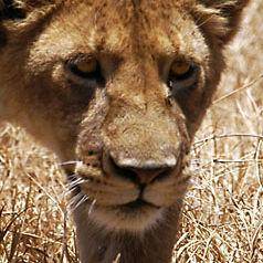 WL14 Female Lion, Panthera leo.