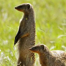 WM01 Banded Mongoose, Mungos mungo.