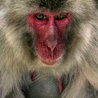 WM10 Japanese Macaque, Macaca fuscata.
