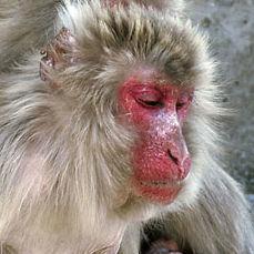 WM11 Japanese Macaque, Macaca fuscata