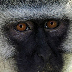 WM12 Vervet Monkey, Cercopithecus aethiops pygerythrus