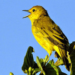 WW01 Yellow Warbler, Dendroica petechia