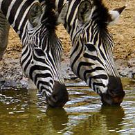 WZ01 Burchell's Zebra, Equus quagga burchelli.