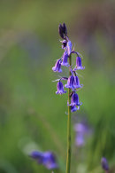 Bluebell Detail