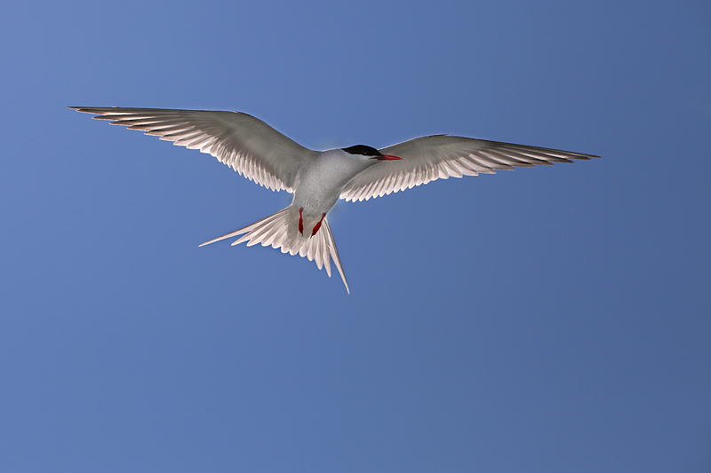 Backlit Arctic Tern
