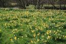 Farndale Daffodils
