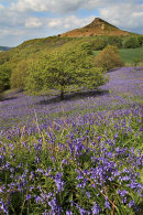 Roseberry Bluebells 3