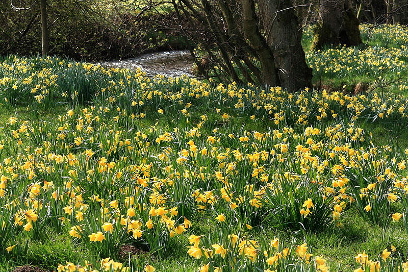 Farndale Daffodils 3