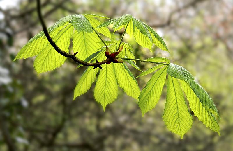 Chestnut Leaves 3