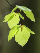 Beech Leaves 1
