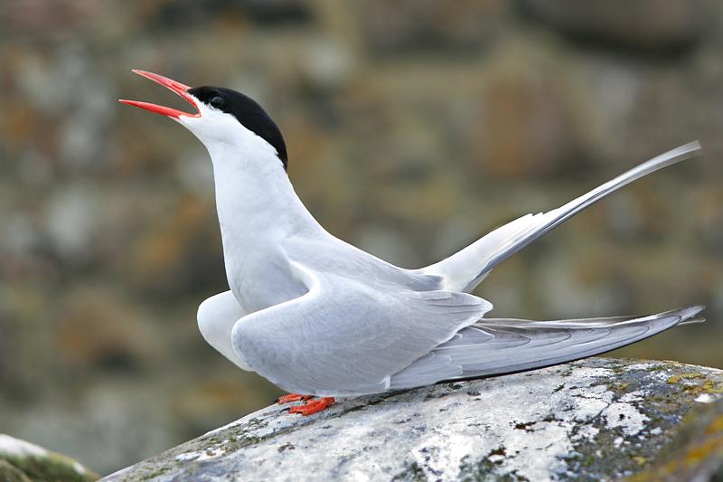 Territorial Tern