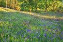 Newton Woods Bluebells