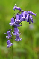 Blubell Detail 3