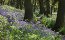 Newton Woods Bluebells