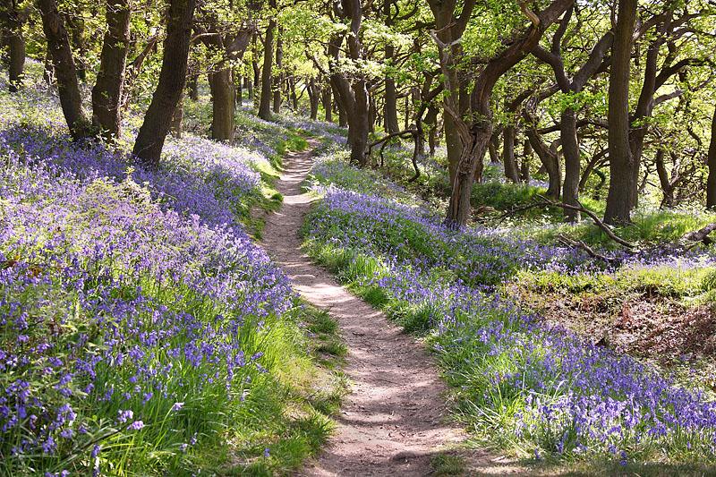 Bluebell Path 1