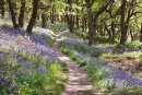 Bluebell Path 1