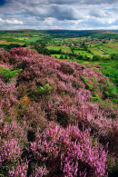 Castleton Heather