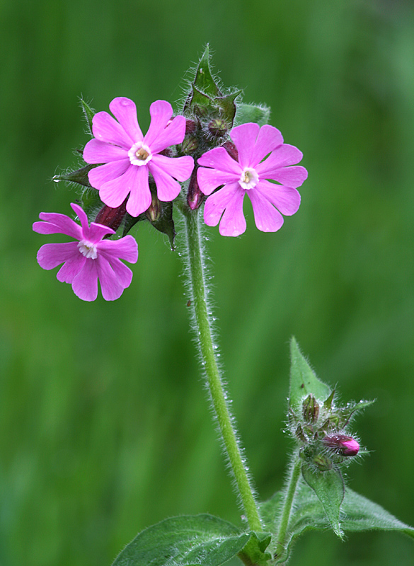Red Campion 2