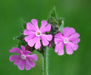 Red Campion 3