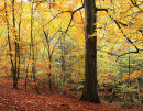 Autumn Woods 1