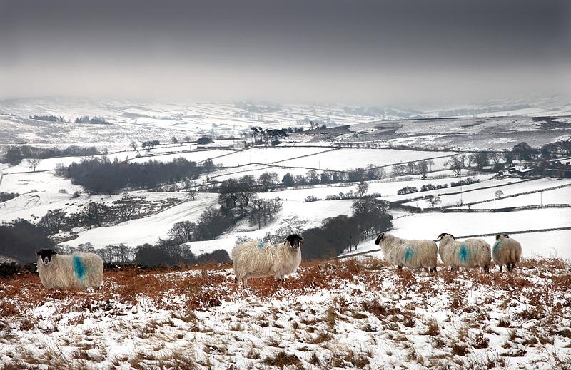 Commondale Sheep 1
