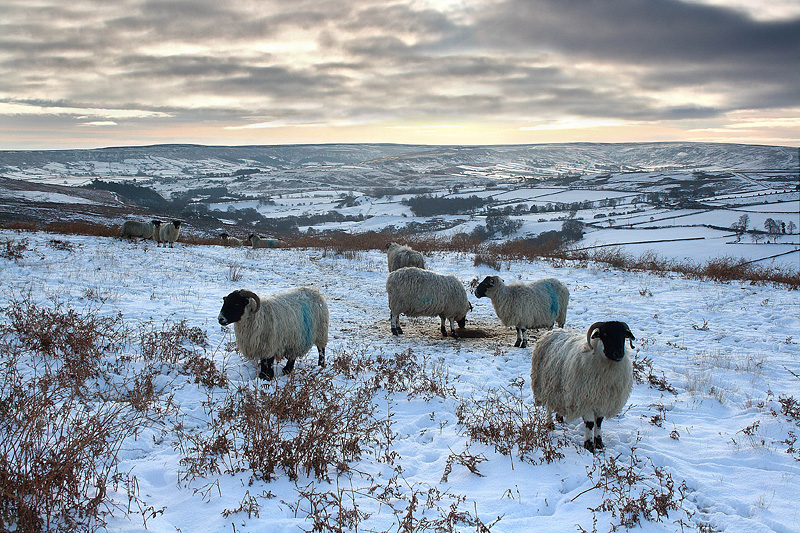 Commondale Sheep 2