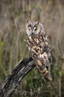 Long Eared Owl 2
