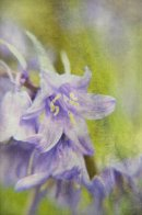 Textured Bluebells