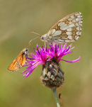 Marbled White with Small Skipper