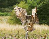 Open Stan Maddams european eagle owl