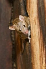Open dee maddams house mouse